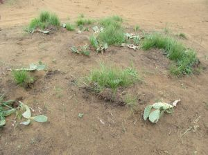 Cactus growing on the 9th hole at Sand Valley Golf Resort