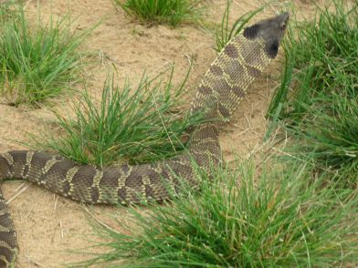 Bull snake near the sixth hole tee box at Sand Valley